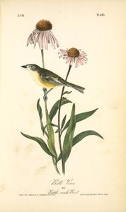 John James Audubon - Vireo di Bell maschile  Rattle-serpente Root