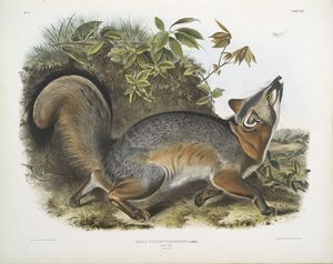 John James Audubon - Canis (Vulpes) Virginianus, Grey Fox