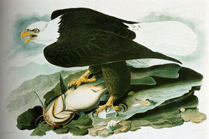 John James Audubon - Il calvo aquila Da Birds Of America