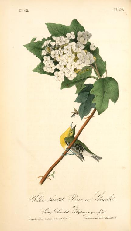 Ordinare Copia Pittura : Yellow-throated Vireo , oppure Greenlet . Maschile . ( palude snowball . Ortensia quercifolia . ) di John James Audubon (1785-1851, Haiti) | WahooArt.com